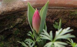 tulip-bud-emerging-pink2